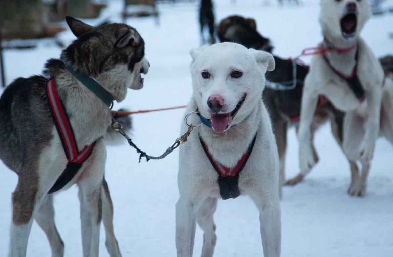 K-kauppiailta rekallinen koiranruokaa Pohjoisen valjakkokoirille